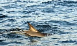Tillbaka fena av en delfin som simmar i havet och jagar för fi Royaltyfria Bilder