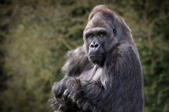 tillbaka gorillasilver Royaltyfri Fotografi