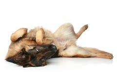 tillbaka hundtysk hans liggande restsherde fotografering för bildbyråer