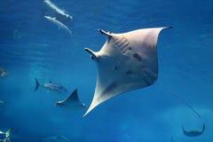 tillbaka jätte dess mantay simning royaltyfria foton