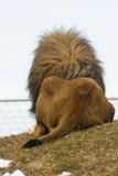 tillbaka lion s Arkivbilder