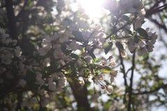 Tillbaka Lit Sakura Cherry Blossoms New England Arkivbild