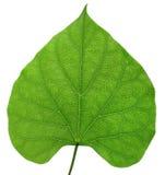 Tillbaka ljus för blad som isoleras på vit Royaltyfri Bild