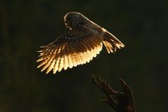 Tillbaka ljus för morgon Flyguggla Uggla i skogugglan i fluga Handlingplats med ugglan FlygEurasian Tawny Owl, med mörkt suddigt Fotografering för Bildbyråer