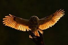 Tillbaka ljus för morgon Flyguggla Uggla i skogugglan i fluga Handlingplats med ugglan FlygEurasian Tawny Owl, med mörkt suddigt royaltyfri foto