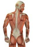 Tillbaka muskulös struktur för man royaltyfri illustrationer