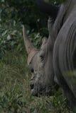 tillbaka noshörning arkivbild