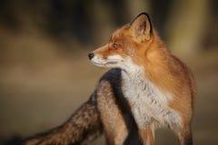tillbaka räv som ser röd Royaltyfria Bilder