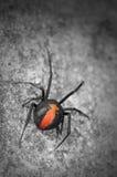tillbaka röd spindel för australier Royaltyfria Bilder