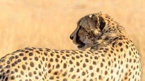 tillbaka se för cheetah Royaltyfri Fotografi