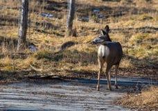 tillbaka se för hjortar Royaltyfria Foton