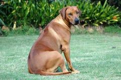tillbaka se för hund Fotografering för Bildbyråer