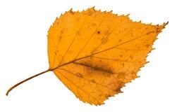 tillbaka sida av det gamla stupade bladet av björkträdet Arkivbild