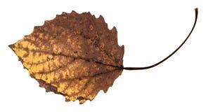 tillbaka sida av det murkna torkade bladet av det asp- trädet fotografering för bildbyråer