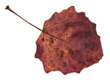 tillbaka sida av det röda stupade bladet av det asp- trädet arkivfoto