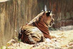 Tillbaka sida av sova för tiger royaltyfri fotografi