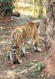 Tillbaka sida av tigrinnatigern arkivfoto