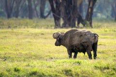 Tillbaka sikt av den afrikanska buffeln i savannah Royaltyfria Bilder
