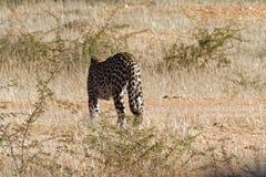Tillbaka sikt av den afrikanska leoparden i torr buske och gräs på den Okonjima naturreserven, Namibia arkivfoton