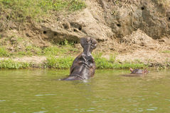 Tillbaka sikt av en flodhästgäspning Royaltyfri Foto