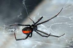 tillbaka spindel för hasseltilacrodectusred Royaltyfri Foto