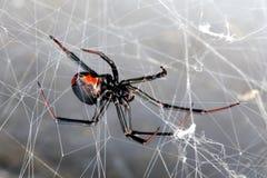 tillbaka spindel för hasseltilacrodectusred Fotografering för Bildbyråer
