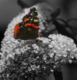 Tillbaka trädgård för fjärilsatalantha Fotografering för Bildbyråer