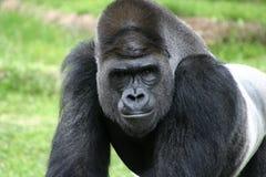 tillbaka zoo för värd för silver för closeupfortgorilla Fotografering för Bildbyråer
