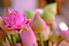 Tillbe den rosa lotusblomman royaltyfri foto