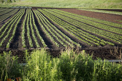 Tilled Field with Growing Crop. Tilled farm field with new crop growing in rich soil Stock Images