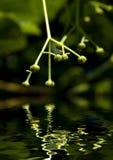 Tilleul Photographie stock libre de droits