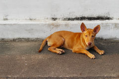 Tillfällig hemlös thailändsk hund Royaltyfri Foto