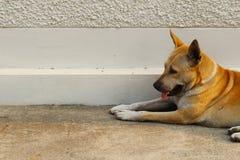Tillfällig hemlös thailändsk hund Arkivbild