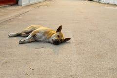 Tillfällig hemlös thailändsk hund Royaltyfria Foton