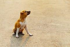 Tillfällig hemlös thailändsk hund Arkivfoton