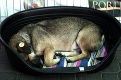 Tillfällig hund Royaltyfria Foton