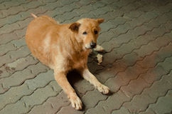 Tillfällig hund i Bangkok arkivbilder