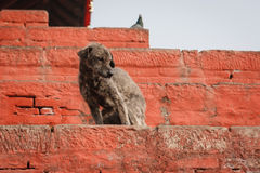 Tillfällig hund i den Durbar fyrkanten, Katmandu, Nepal royaltyfri foto