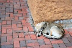 Tillfällig hund i stad av Quito Ecuador Arkivbild