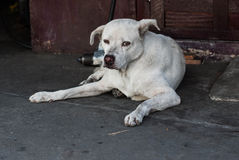 Tillfällig hund i Thailand Royaltyfri Foto
