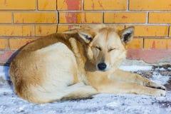 tillfällig hund i vinter som värma sig i solen arkivfoto