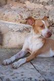 Tillfällig hund med en blick till avståndet Arkivbild