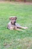 Tillfällig hund på den gröna gräsmattan Arkivfoton