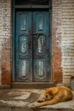 Tillfällig hund som är främst av en gammal blå dörr royaltyfria bilder