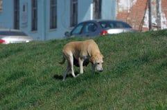 Tillfällig hund som går ner gatan Royaltyfria Foton