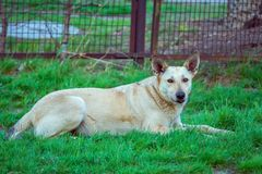 Tillfällig hund som lägger på grönt gräs Royaltyfri Foto