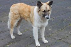 Tillfällig hundkapplöpning på den ledsna gatan Royaltyfria Foton