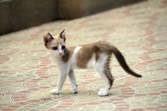 Tillfällig katt Royaltyfri Foto
