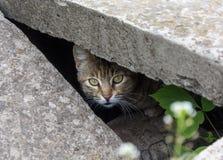 Tillfällig katt som kikar från slitsen Arkivfoton