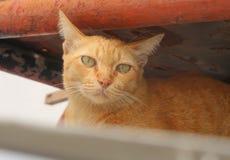 Tillfällig katt som ligger på den gamla bilen Royaltyfri Foto